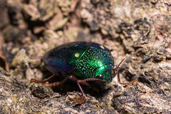 Ruficornis Sternocera жука драгоценности Стоковая Фотография RF
