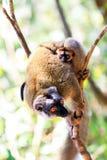 Rufifrons lemur Fotografia Royalty Free