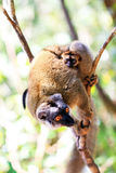 Rufifrons lemur Royalty Free Stock Photography