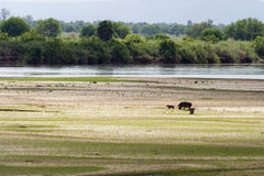 Rufiji river hippos grazing Stock Photography
