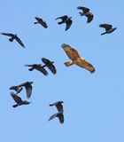 rufinus buzzard buteo legged длиннее Стоковые Фотографии RF