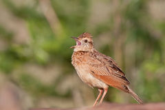 Rufious-naped Lark. Singing Rufious-naped Lark with open beak Stock Image