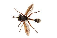 Rufipes de Physocephala de la mosca en un fondo blanco Fotografía de archivo libre de regalías