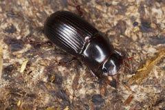 rufipes dung жука aphodius Стоковая Фотография RF