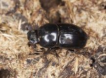 rufipes dung жука aphodius Стоковые Изображения