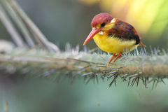 Rufoubacked kingfisher - juvenile (front view). A juvenile of rufous-backed kingfisher found in the wild in Malaysia. The bird is paying full attention on its' Stock Photos