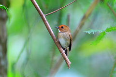 Rufouns-browed Flycatcher Royalty Free Stock Photography