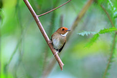 Rufouns-browed Flycatcher Royalty Free Stock Photos