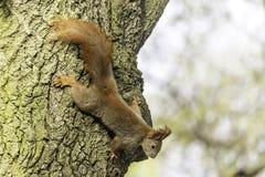 Rufous белка на дереве бука стоковое изображение