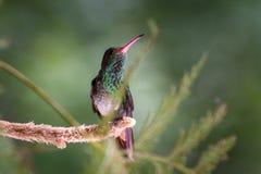 Rufous-замкнутый колибри - tzacatl Amazilia Стоковые Изображения