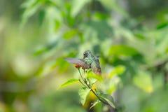 Rufous замкнутый колибри Стоковые Фотографии RF