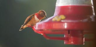 Rufous колибри на фидере стоковое фото rf