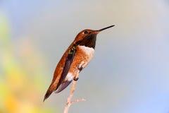 Rufous колибри садить на насест на ветви стоковая фотография rf