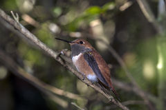 Rufous колибри (rufus Selasphorus) Стоковая Фотография RF