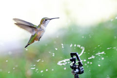 Rufous пить Hummingbird от спринклера Стоковое Изображение