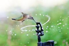 Rufous пить Hummingbird от спринклера Стоковая Фотография