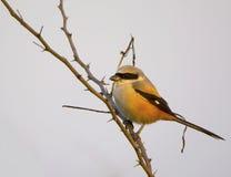 Rufous подпертое Shrike (Lanius Schach) Стоковая Фотография RF