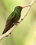 Rufous-angebundener Kolibri Lizenzfreies Stockbild