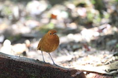 Rufous Antpitta Royalty Free Stock Photography