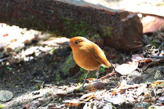 Rufous Antpitta royalty free stock images