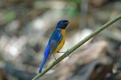 Rufous-aufgeblähter sundara Niltava Niltava Vogel Stockfoto