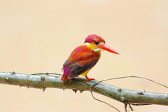Rufous-backed Kingfisher Ceyx rufidorsus Royalty Free Stock Photos