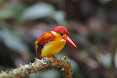 Rufous-backed Kingfisher Ceyx rufidorsus Royalty Free Stock Images