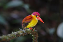 Rufous-backed Kingfisher Royalty Free Stock Images