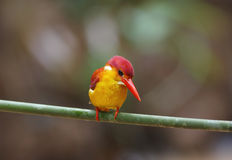 Rufous-backed Kingfisher Ceyx rufidorsus Stock Photos