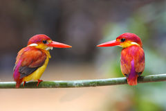 Rufous-backed Kingfisher Ceyx rufidorsus. Bird in Thailand Stock Photo