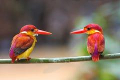 Rufous-backed Kingfisher Ceyx rufidorsus Stock Photo