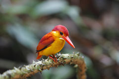Rufous-backed Kingfisher Ceyx rufidorsus Stock Image