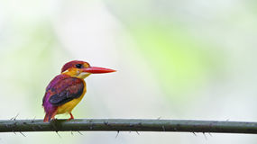 Rufous-backed kingfisher - Juvenile back profile Royalty Free Stock Photography
