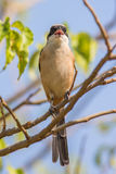 Rufous-backed shrike. Standing on tree Royalty Free Stock Photo