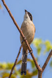 Rufous-backed shrike. Standing on tree royalty free stock images