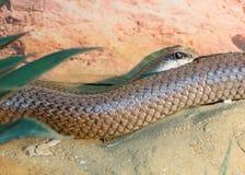 Rufous beaked snake Royalty Free Stock Photography