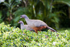 Rufous-bellied Chachalaca Ortalis wagleri in Mexico Stock Image
