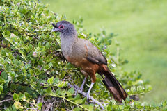 Rufous-bellied Chachalaca Ortalis wagleri in Mexico Royalty Free Stock Photography
