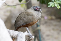 Rufous-bellied Chachalaca Ortalis wagleri in Mexico Royalty Free Stock Photos