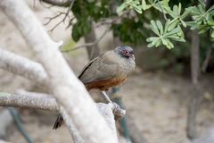 Rufous-bellied Chachalaca Ortalis wagleri in Mexico Royalty Free Stock Images
