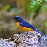 Rufous-bellied Niltava. Colorful blue bird, male Rufous-bellied Niltava (Niltava sundara), standing on the log Stock Image