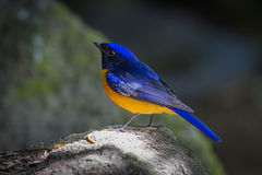 Rufous-bellied Niltava. ( Niltava sundara) in nature at Meawong national park,Thailand Royalty Free Stock Photography