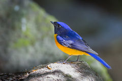 Rufous-bellied Niltava. ( Niltava sundara) in nature at Meawong national park,Thailand Stock Photography