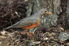 Rufous-bellied thrush Stock Images