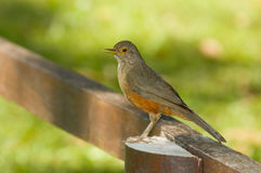 Rufous-bellied Thrush. (Turdus rufiventris Stock Photography