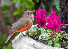 Rufous-bellied Thrush bird also kwon as Sabia Laranjeira in a vase. With beautiful pink flowers Stock Photo