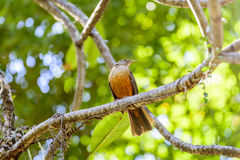 Rufous-bellied Thrush. Perched on tree branch Royalty Free Stock Images