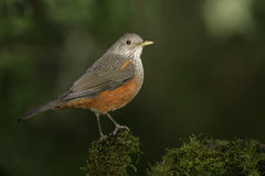 Rufous-bellied thrush, Turdus rufiventris Royalty Free Stock Photography