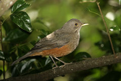 Rufous-bellied thrush, Turdus rufiventris Royalty Free Stock Images