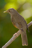 Rufous-bellied Trush Stock Image